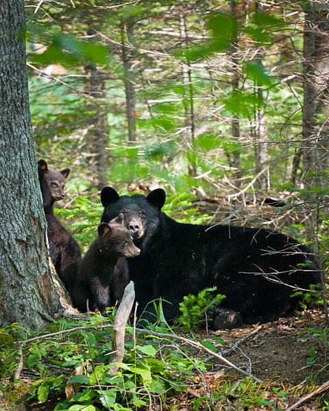 Black bear sow with two of her three cubs.