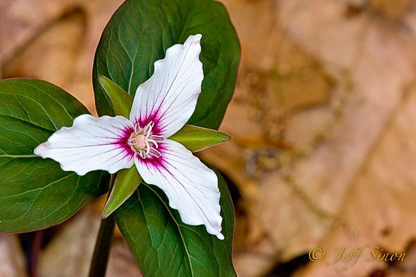 painted trillium wildflower.