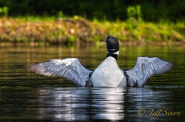 Common Loon with wings spread after dive.