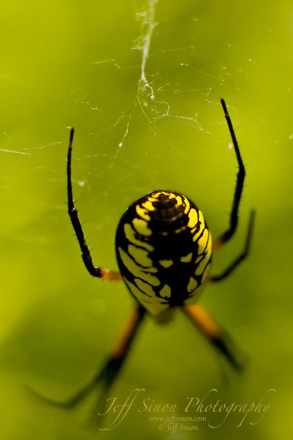 Garden Spider In Its Web