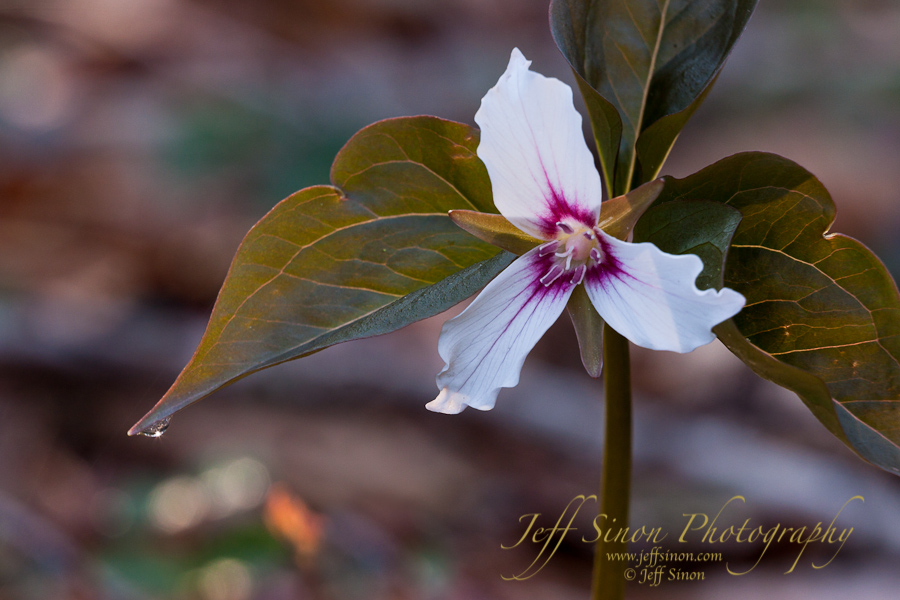Painted trillium wildflower with a dew drop on one leaf.