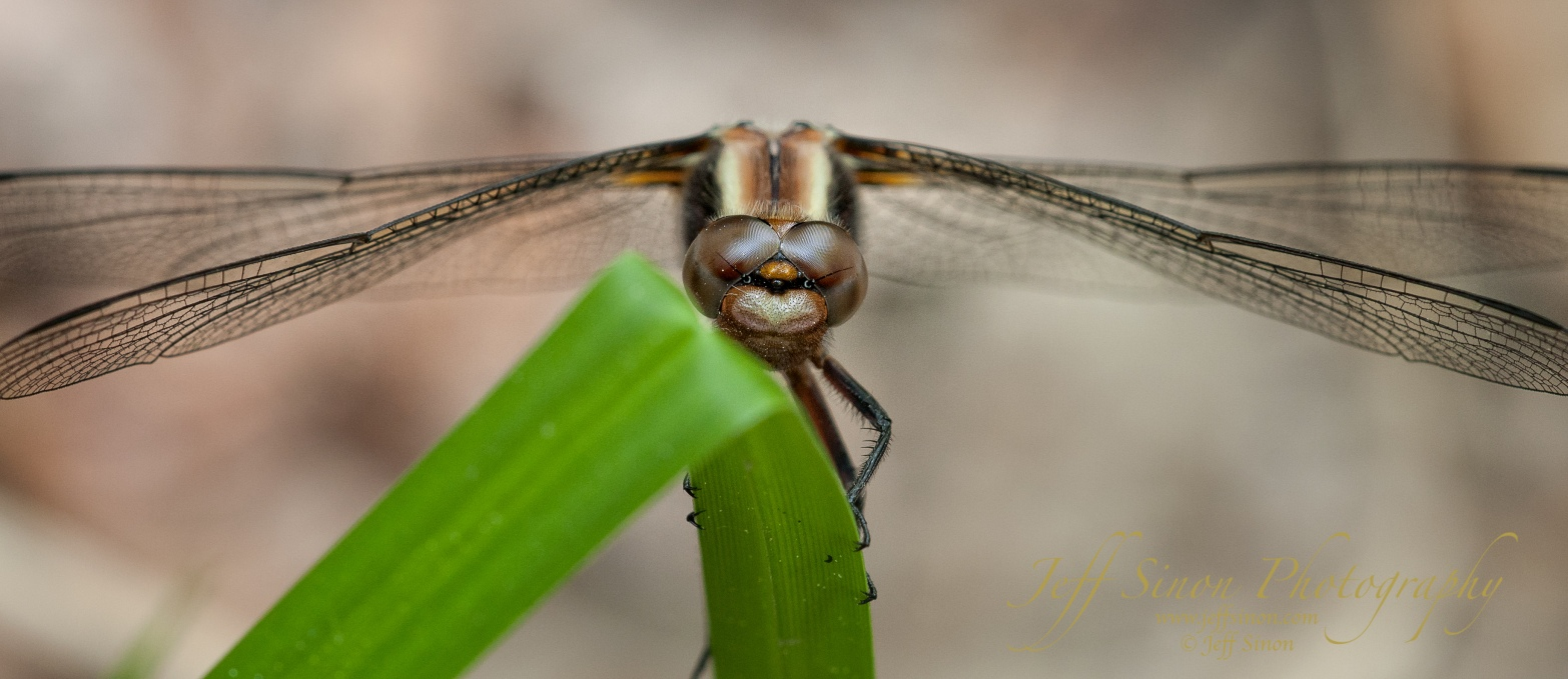 Dragonfly on a blade of grass macro