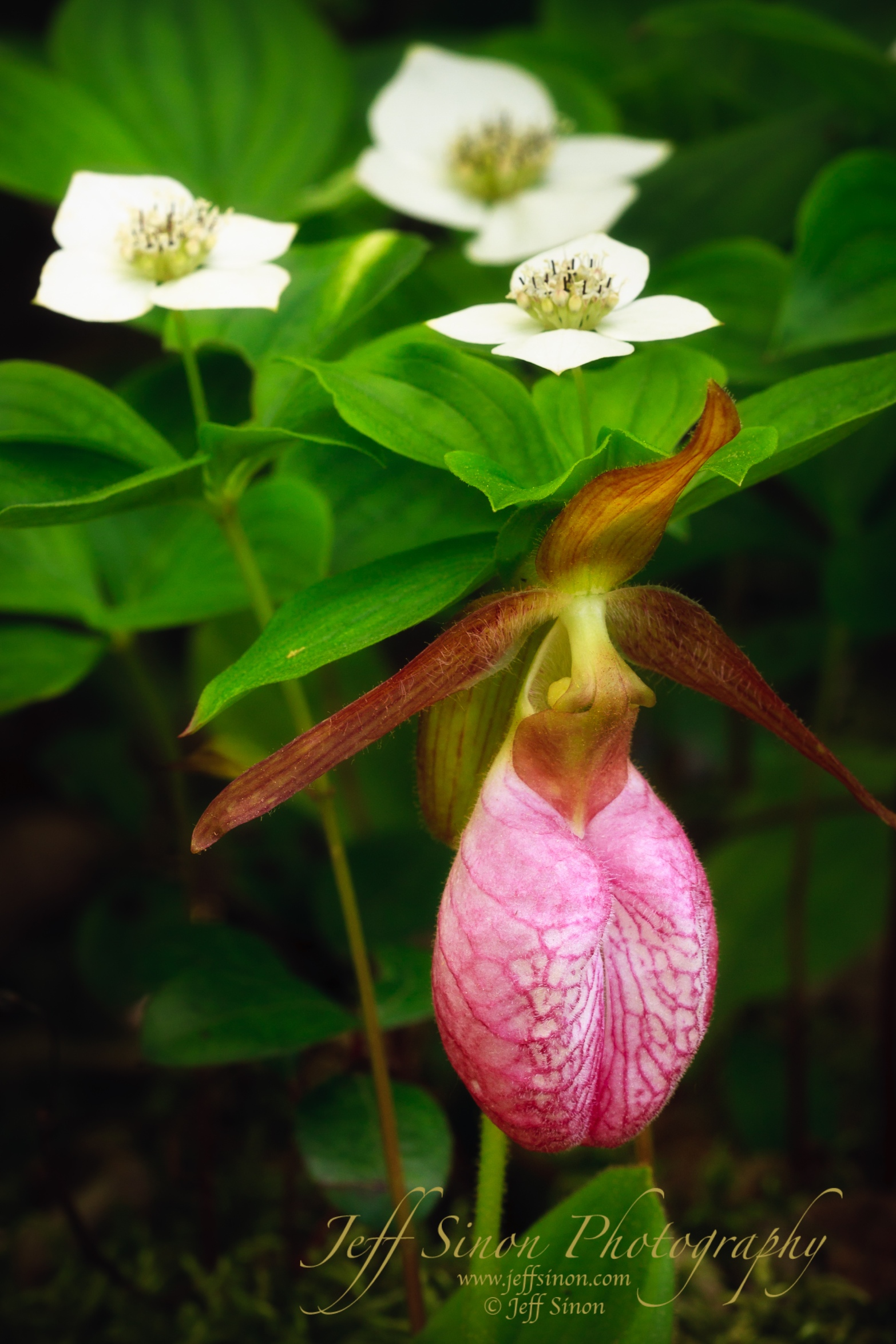 Pink lady's slipper and bunchberry along Sandwich Notch Road.