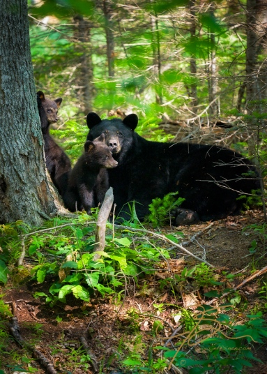 Black bear sow with two cubs.