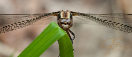 dragonfly on grass macro