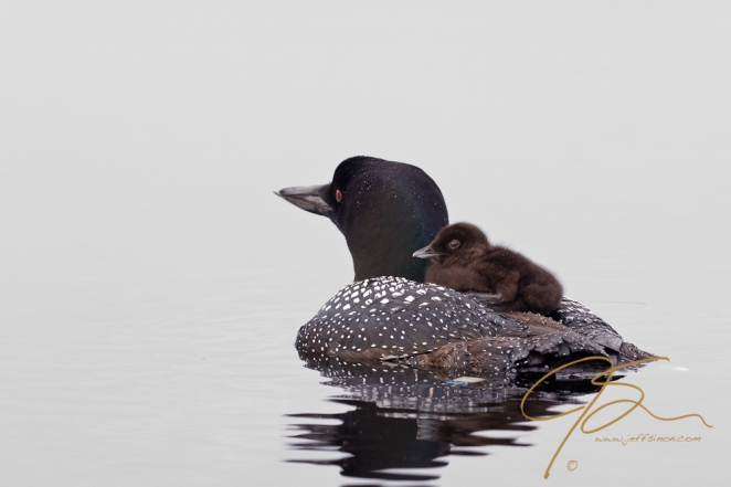 common loon adult with chick on it's back