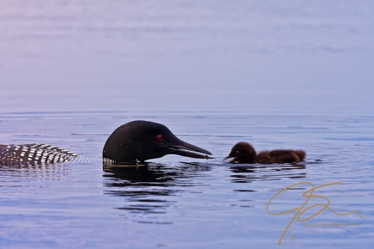 Common loon feeding it's chick