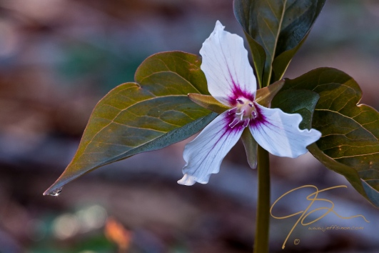 Painted Trillium With Dew Drop