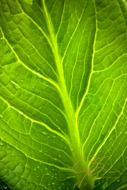 Back lit skunk cabbage leaf