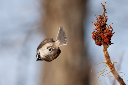 Sparrow leaves its perch