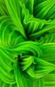 Abstract close-up of the false hellebore plant.