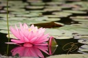 pink-fragrant-water-lily-1