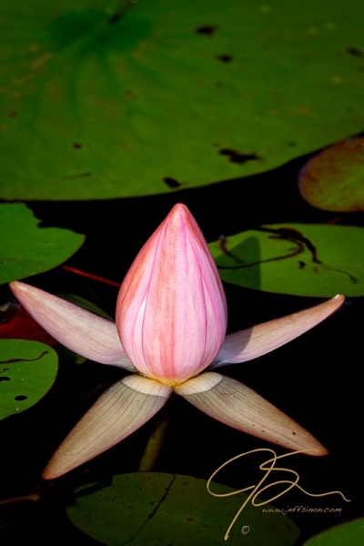 Closed, Pink Fragrant Water Lily Bud.