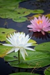 white-and-pink-water-lily-vertical-1321-Edit