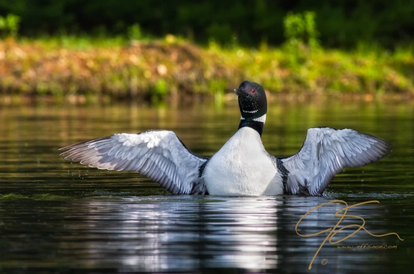 common loon spreading its wings to shake off excess water after surfacing from a dive.