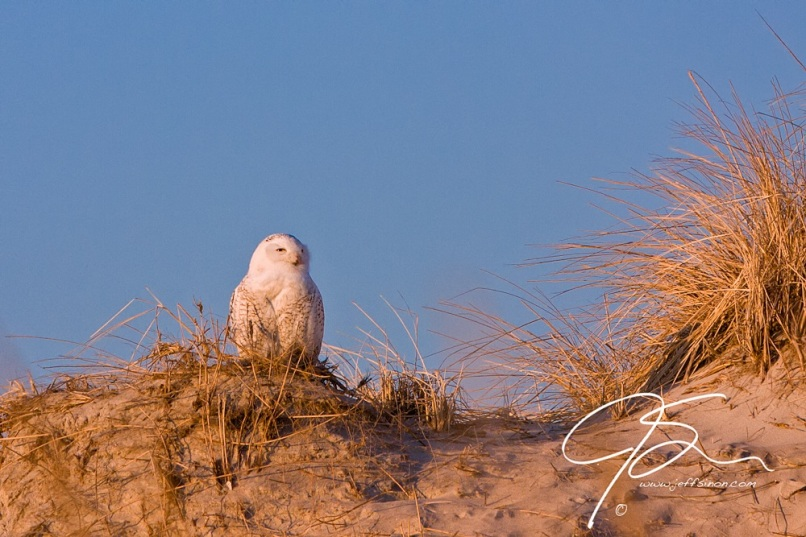 A snowy owl sits atop the sand dunes enjoying the early morning sun. Hampton Beach State Park, NH.