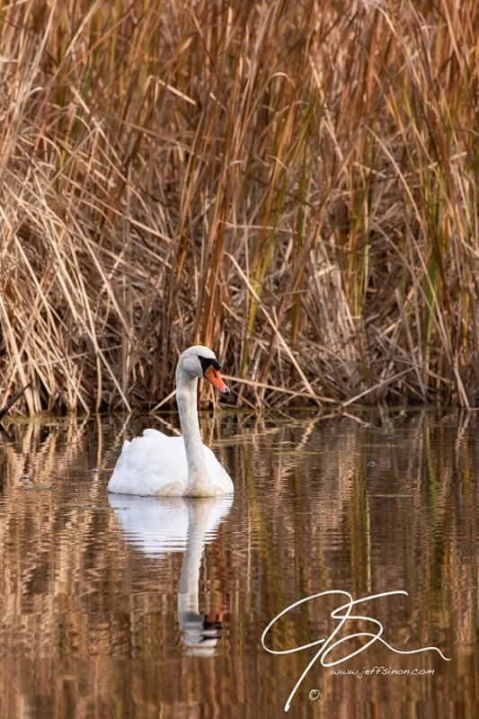 A lone mute swan sits motionless on the still surface of the water, with a wall of brown reeds as a backdrop.
