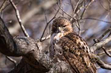 red-tail hawk sitting in a tree in this close-up.