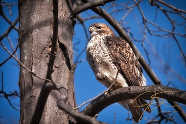 red-tail hawk sitting in a tree