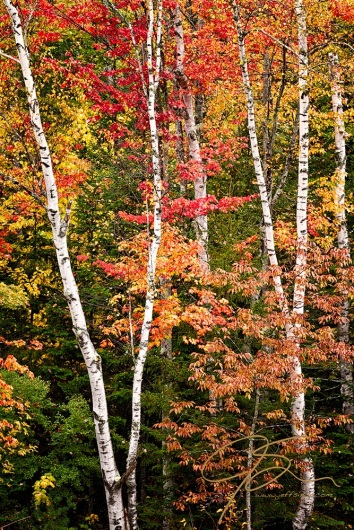 An intimate portrait of the gorgeous fall color to be seen in New Hampshire's White Mountains. A small stand of bright white birch trees among the vibrant red, yellow, orange, and remaining green, fall foliage.
