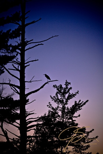 A great blue heron in silhouette perched high in a dead pine tree with the deep blue twilight sky as a backdrop