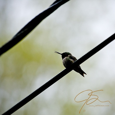 A male ruby throated Hummingbird perched on a telephone wire. Seen mostly in silhouette against the bright sky.