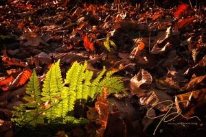 Backlit Fern On The Forest Floor