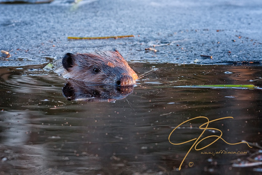 Still mostly submerged except for the top of its head, eyes, and nose, this beaver spotted me right away as it surfaced from under the ice into the unfrozen water at the edge of the pond.