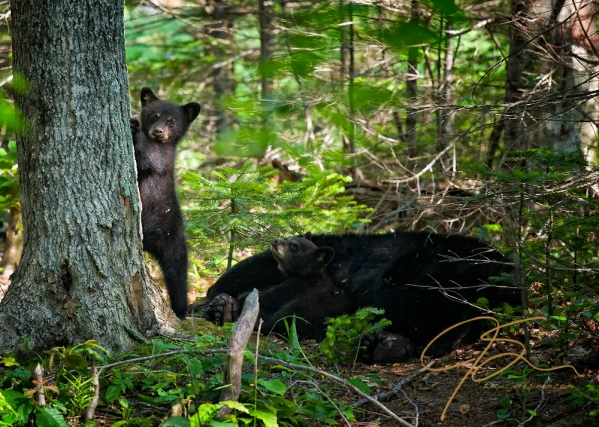 A black bear cub stands against a tree, front paws on the rough bark, appearing to look right out of the image and directly at you. It's sibling looks up, almost as if looking up in awe at an older more experience brother, from its comfortable resting place, nestled snuggly against  their sleeping mother.