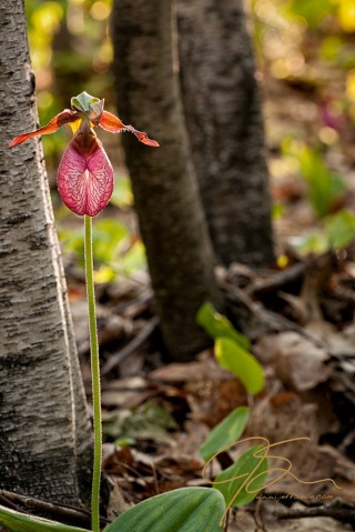 Pink lady's slipper orchid standing next to a small white birch tree, the hint of another flower can be seen in the softly out of focus background, along with the leaf littered forest floor. Dappled sunlight lights the foreground flower seemingly from within.