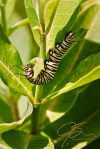 Monarch Caterpillar On Milkweed.
