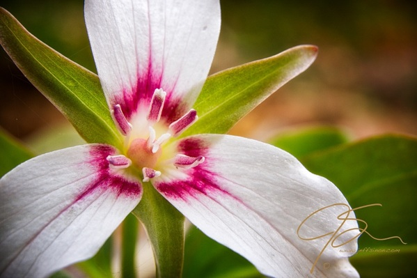 Close up of the white petals, with the band of deep pink at each petals base, of a painted trillium.