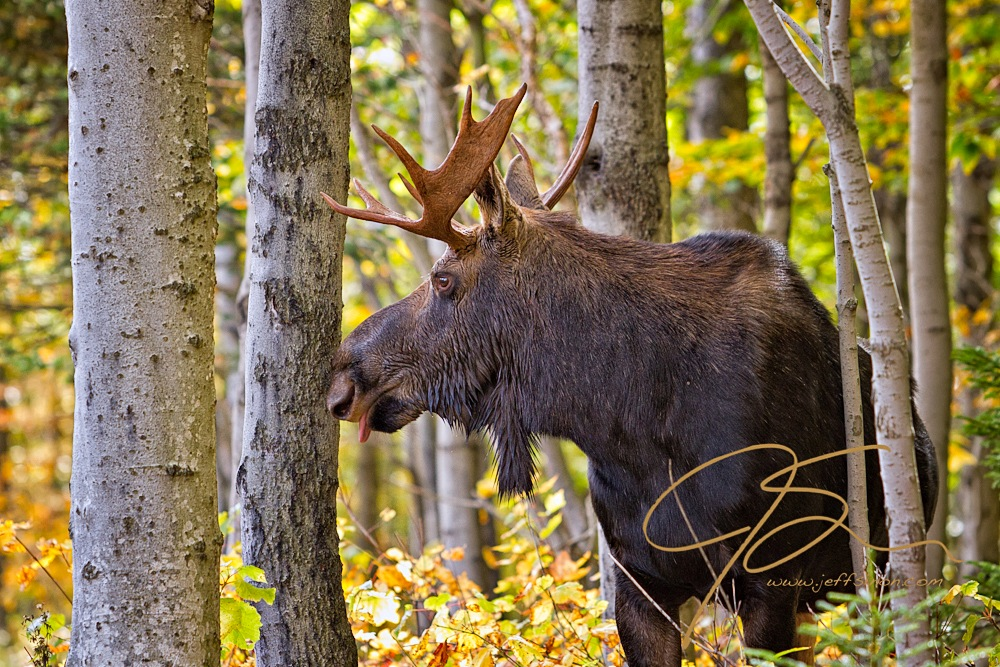 A bull moose stands proudly among the white birch trees in Crawford Notch State Park, NH. Head turned towards image left, with his tongue slightly out, the bull looks majestic amidst the white birch and the golden glow of the autumn foliage in the background