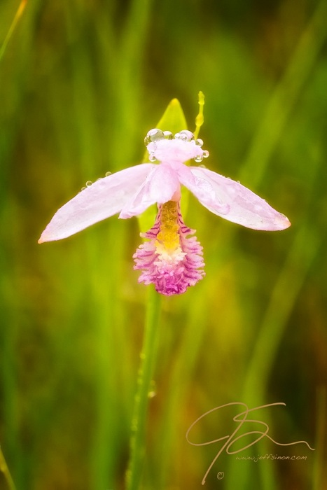 A single pink rose pagonia, a wild orchid found in peat bogs, itsdelicate pink petals covered in morning dew