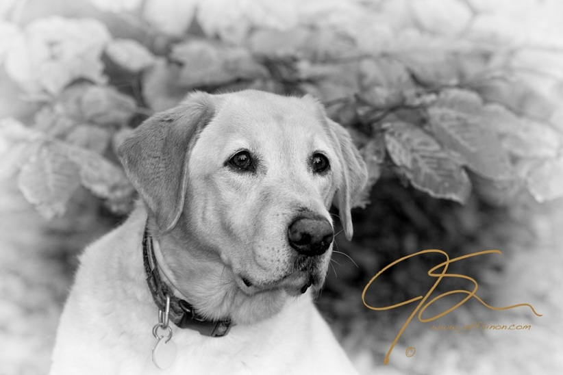 Our yellow lab Hunter, lookng alert, his attention drawn towards something unseen. Sitting in front of a beech tree, its leaves mostly brown as the last of the autumn golden color fades, he's wearing a green collar with a bright yellow tag. His eyes bright with excitement.