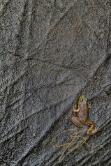 A small frog clings to an almost vertical granite surface.