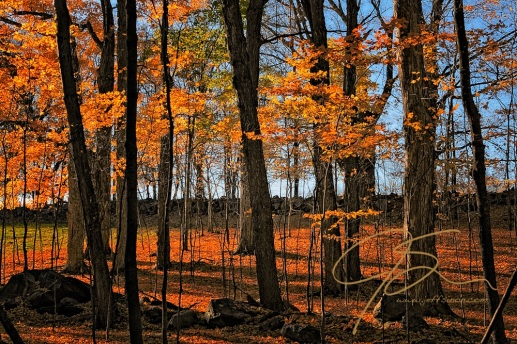 Late day sun causes the fallen leaves on the forest floor, as well as the remaining leaves on the trees to glow a wonderful orange-gold, with the trees casting long shadows. Bright blue sky can be seen through the trees, with a stone wall also in the background.