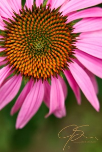 Closeup of the pink cone flower, the orange tipped yellow seeds radiate from the center of the cone. Bright pink petals circle the central cone.