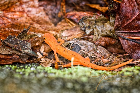 A tiny, brightly colored juvenile Eastern Newt, commonly referred to as a Red Eft, crawls along the forest floor. It's bright orange skin stands in stark contrast to the surounding litter of leaves, twigs, and bits of tree bark. All seemingly insumountable obstacle for this delicate little amphibian.