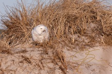Snowy owl (Bubo scandiacus) in the grass atop the sand dunes at Hampton Beach state park, Hampton, New Hampshire. Perched atop the dunes, it's bright yellow eyes gaze towards the rising sun.