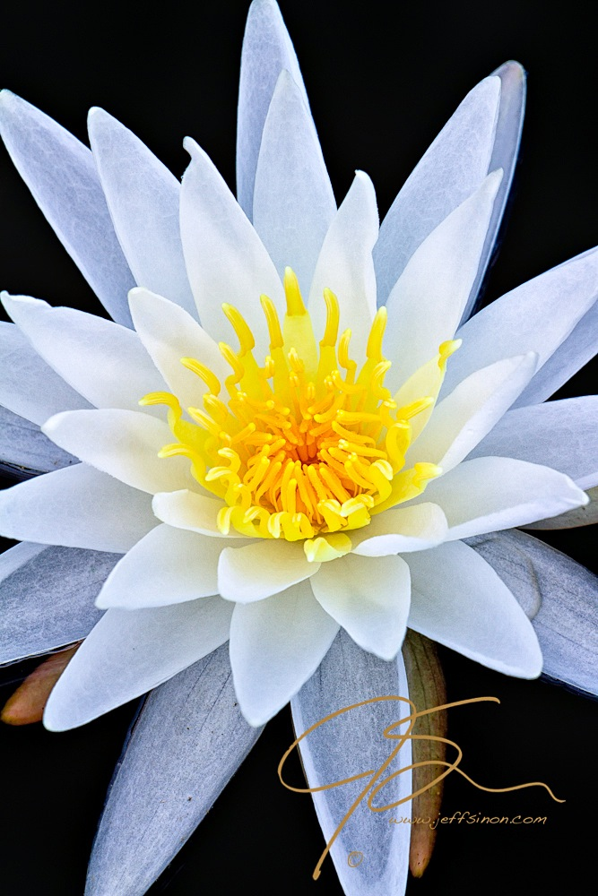 bright white fragrant water lily on a black background. Vibrant white petals surround the glowing yellow stamen it the flowers center.