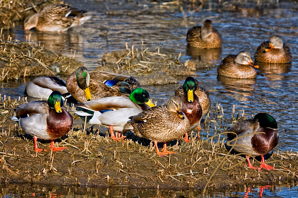 """Standing on a mud bank, surrounded by four green headed drake mallard ducks, and two hens, a lone drake American Black Duck, strips of iridescent green on the sides of it's bowed head, stands out amidst the flashier """"green heads."""" Four more hen mallards float in gently rippled water in the background."""
