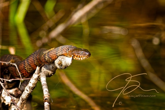 As a water snake lays on a branch over the water, basking in the warmth of the sun, a golden colored damselfly rests on the snake's back.