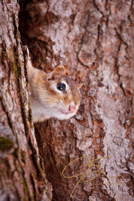 An Eastern chipmunk peaks out of his home in a hollow tree to spy on whoever's passing by.