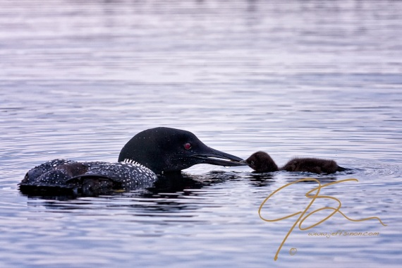 An adult common loon parent appears to be kissing its chick as it presents a small fish for breakfast.