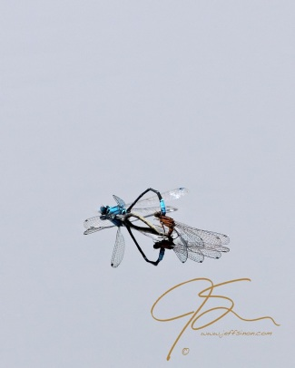 Damselfly,Ischnura kellicotti, Lilypad Forktail, mating wheel and reflection on glass smooth waters surface