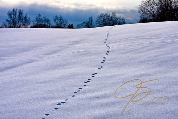 Animal tracks lead up a gently sloping snow covered hill, disappearing over the crest. The top of the hill is lined by leafless trees, and beyond the trees an ominous sky.