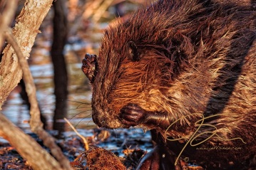 Beaver scratching its face.