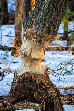 A tree that has been chewed by the powerful teeth of the beaver