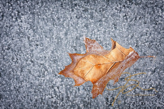 Close-up of a single faded oak leaf held fast partially frozen in the surface of a New Hampshire lake. Fine bubbles frozen in the ice make it all but opaque yet full of detail.